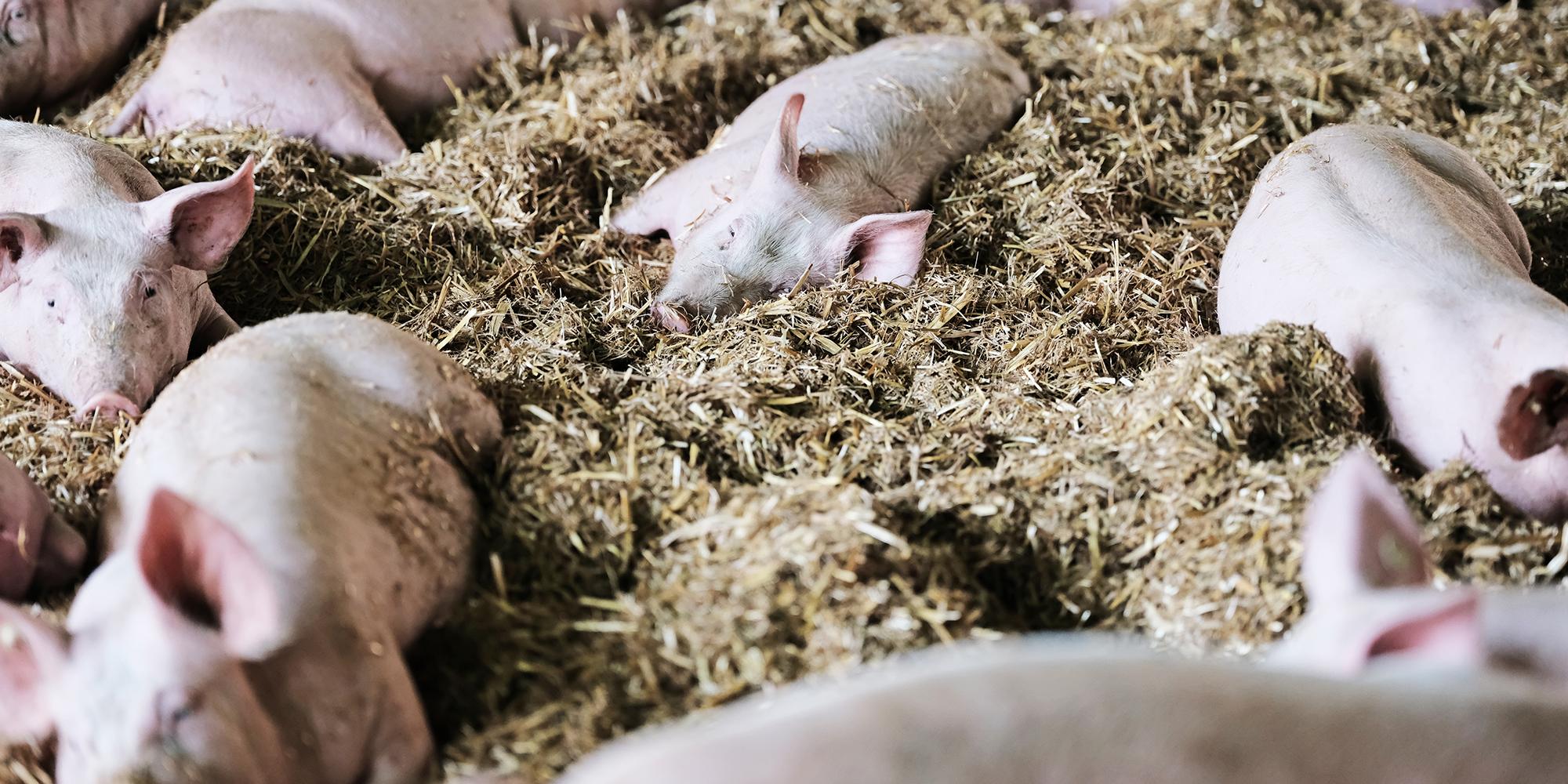 Unsere regionalen Strohschweine